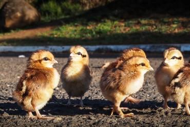 baby chicks, baby birds