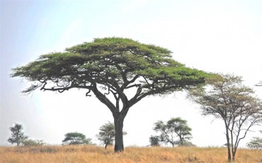Umbrella Acacia Tree-Jaliya Rasaputra