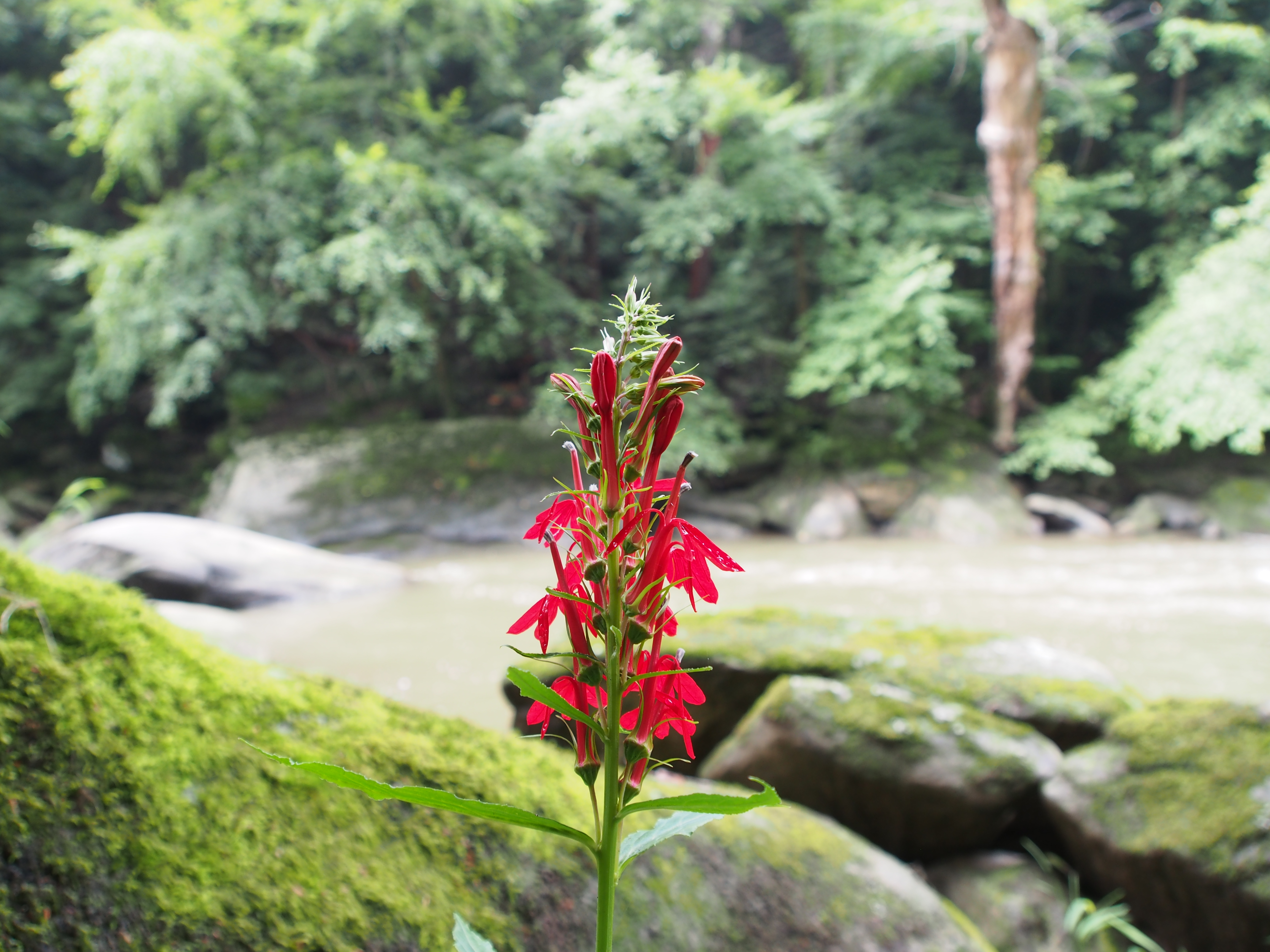 Red flower by the rapids